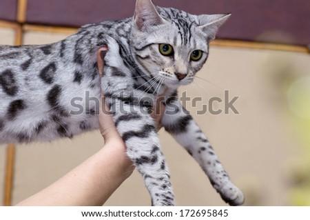 British Short hair cat portrait - stock photo