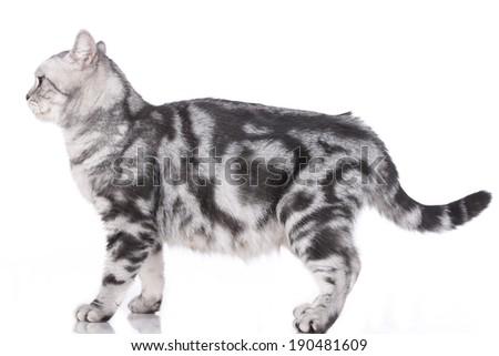 British short hair cat standing sideways - stock photo