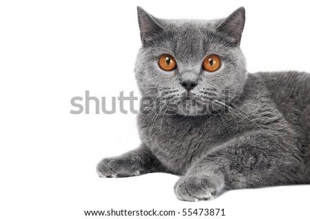 British short hair grey cat with big wide open orange eyes isolated - stock photo