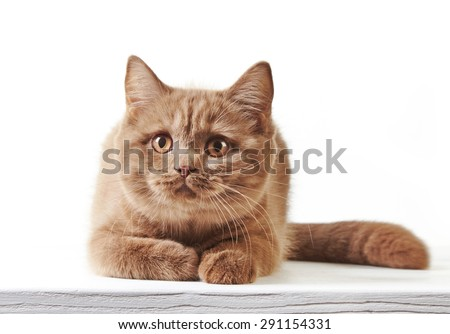 British short hair kitten on a white background