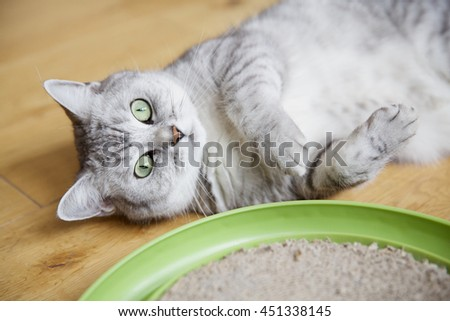 british short hair silver tabby cat lying on the wooden floor next to her toy