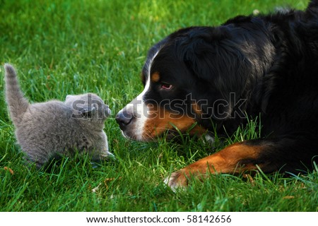 British Short-haired cat and Mountain Bernese dog sniffing - stock photo