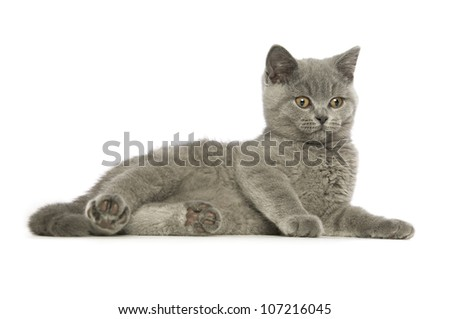 British short haired grey cat isolated on a white background