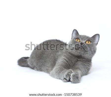 british short haired kitten laying in studio, british shorthaired kitten - stock photo