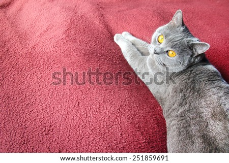 British shortair gray cat on a red rug for background. - stock photo