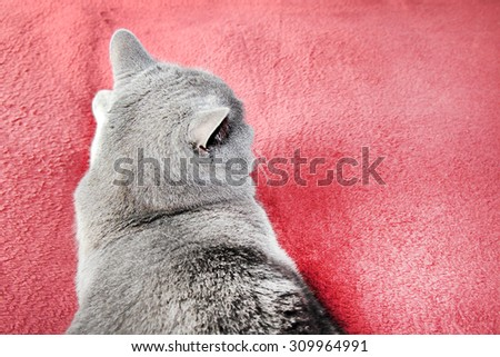 British shortair grey cat on a red rug for background. - stock photo