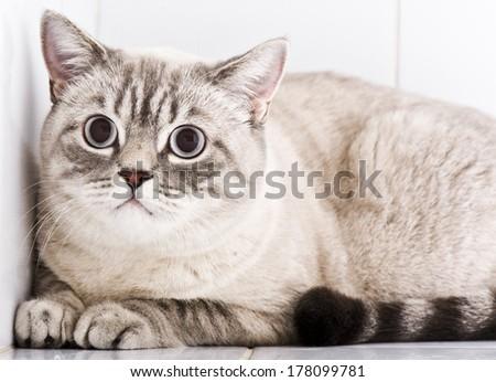 British shorthair cat - stock photo