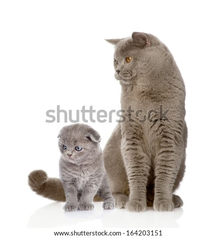 British shorthair cat and kitten. isolated on white background - stock photo