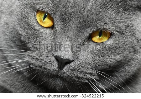 British shorthair cat closeup portrait (British Blue cat) - domesticated cat whose features make it a popular breed in cat shows. - stock photo