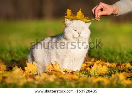 British shorthair cat in autumn - stock photo