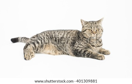 British shorthair cat in studio. Portrait on white background.