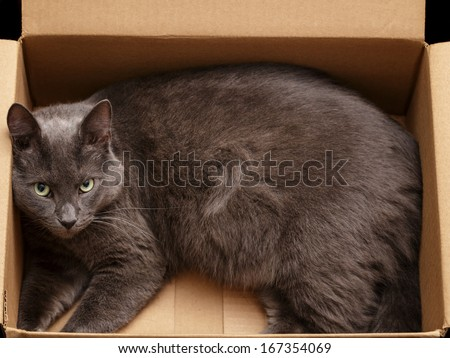 british shorthair cat in the box, pretty looking - stock photo