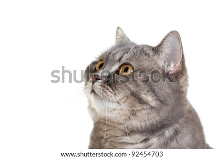 British shorthair cat isolated on white background - stock photo