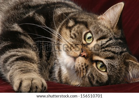 British Shorthair cat lay down in close up - stock photo