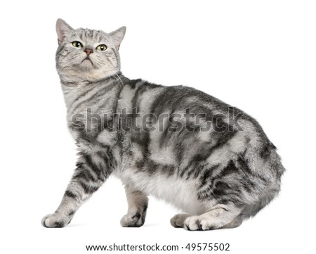 British shorthair cat, 15 months old, in front of white background - stock photo