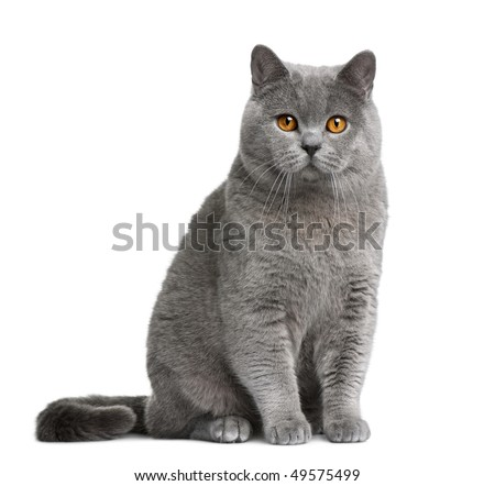 British shorthair cat, 12 months old, sitting in front of white background - stock photo