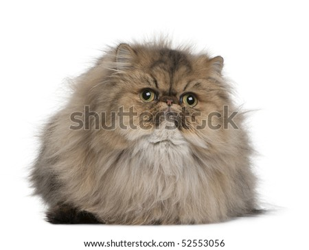 British shorthair cat, 11 months old, sitting in front of white background - stock photo