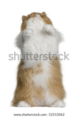 British shorthair cat, 11 months old, sitting in front of white background and looking up - stock photo