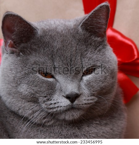 british shorthair cat over gift box on Holiday theme/Fluffy gray british cat with Christmas gifts on Holiday theme - stock photo
