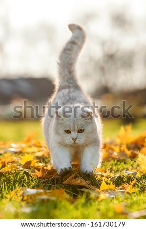 British shorthair cat playing in autumn - stock photo