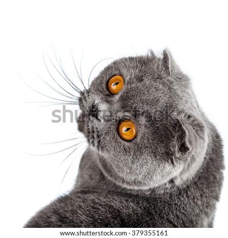 British Shorthair Cat Portrait. Beautiful kitty isolated on white background - stock photo
