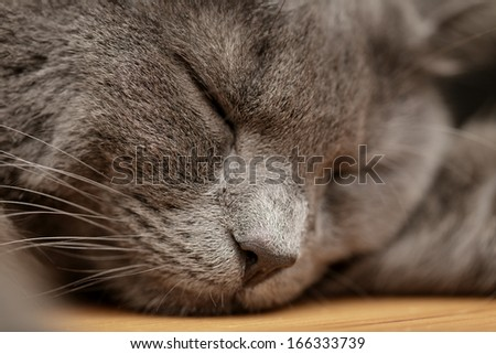 british shorthair cat sleep on wood table, close up portrait