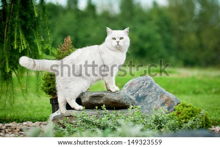 British shorthair cat standing on the stones in the yard - stock photo