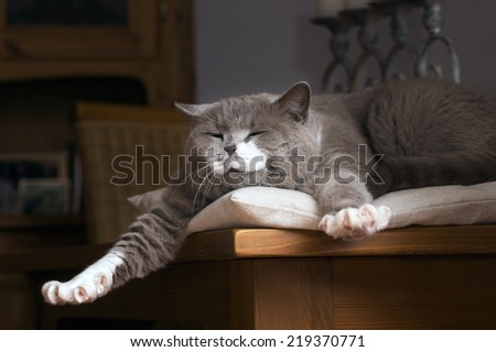 British Shorthair cat wakes up on the table - stock photo