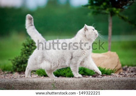 British shorthair cat walking outdoor - stock photo
