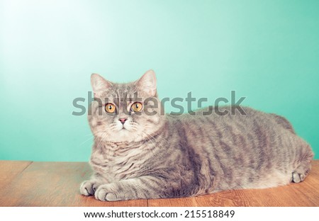 British Shorthair cat with big yellow eyes lay front mint green background - stock photo