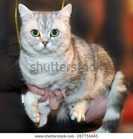 British Shorthair cat with the classic tabby markings. British Shorthair in exhibition.  British Shorthairs have large, broad heads.  Their eyes stand out and tend to be large and round. - stock photo