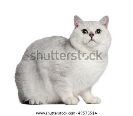 British shorthair cat, 2 years old, sitting in front of white background - stock photo