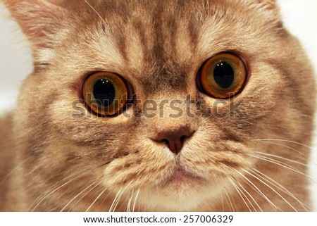 British Shorthair face closeup - stock photo