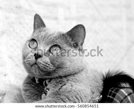 British shorthair grey cat.