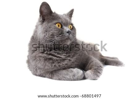 British shorthair grey cat isolated on the white background - stock photo