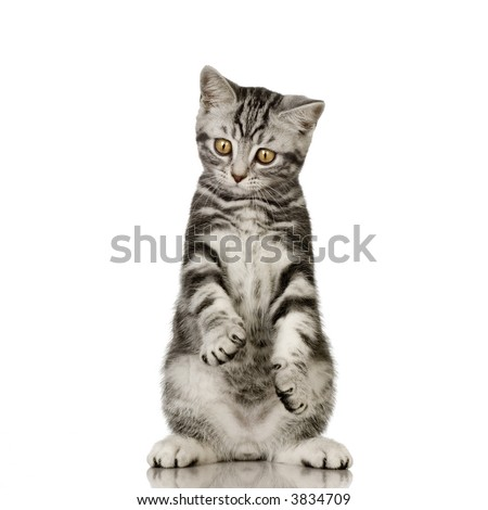 British Shorthair in front of a white background - stock photo