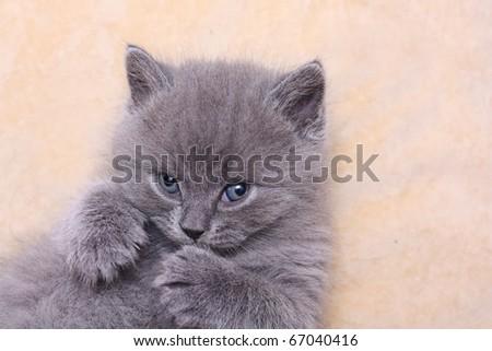 British Shorthair kitten girl on beige sofa - stock photo