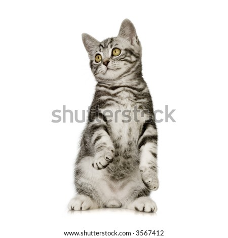 British Shorthair kitten in front of a white background - stock photo