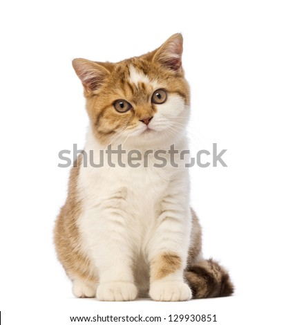 British Shorthair kitten, 3.5 months old, sitting and looking at the camera in front of white background