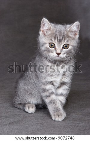 British shorthair kitten on backgound in studio - stock photo