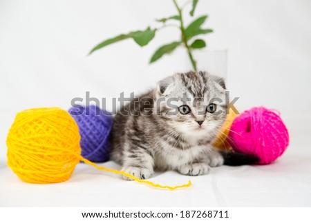 British Shorthair kitten on white background. Pet in the studio. - stock photo