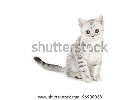 british shorthair kitten sitting in front on white - stock photo