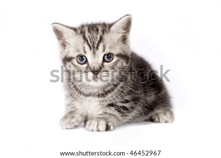 British Shorthair kitten sitting on a white background in a studio.