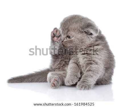 british shorthair kitten washing itself. isolated on white background