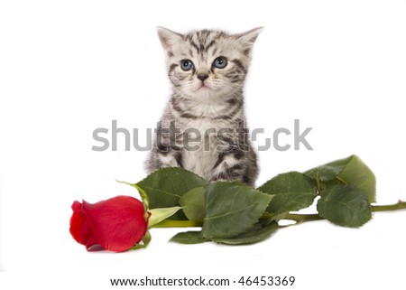 British Shorthair kitten with a red rose for valentines day. - stock photo