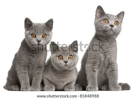 British Shorthair kittens, 3 months old, sitting in front of white background - stock photo