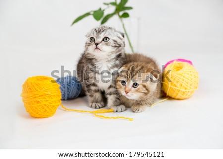 British Shorthair kittens on white background. Pets in the studio - stock photo