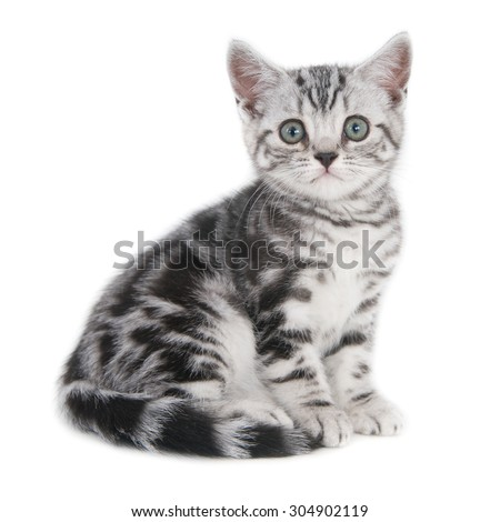 British Shorthair kittensilver tabby  on white