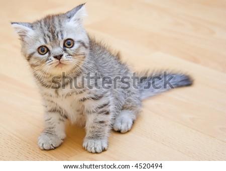 British Shorthair kitty - stock photo