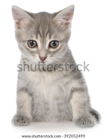 British shorthair tabby kitten sitting isolated on a white background.